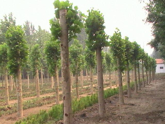 千头椿育苗种子均匀播于苗床上