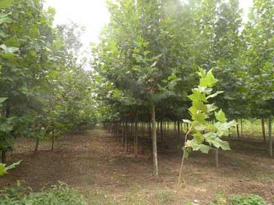 千头椿育苗苗木有完善的灌溉系统