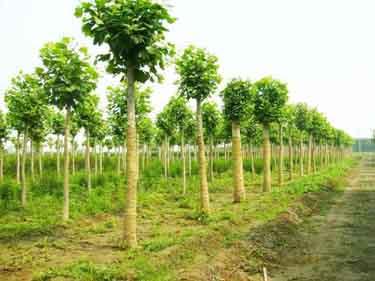 千头椿树势正常生长健壮采集果实